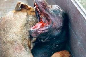 Собачьи бои - пережиток варварских времен.